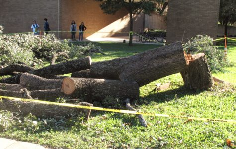 Workers cut down the tree between Moody Hall and Sorin Oak Oct. 22.