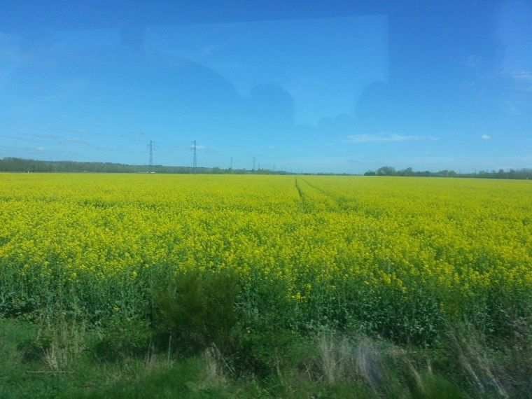 These bright yellow flowers might only be weeds, but they cover acres of land and were everywhere in Normandy.