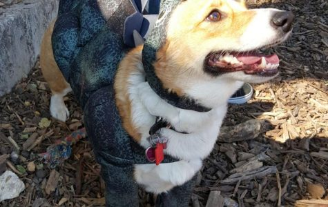 Corgi lovers unite at free events throughout Austin