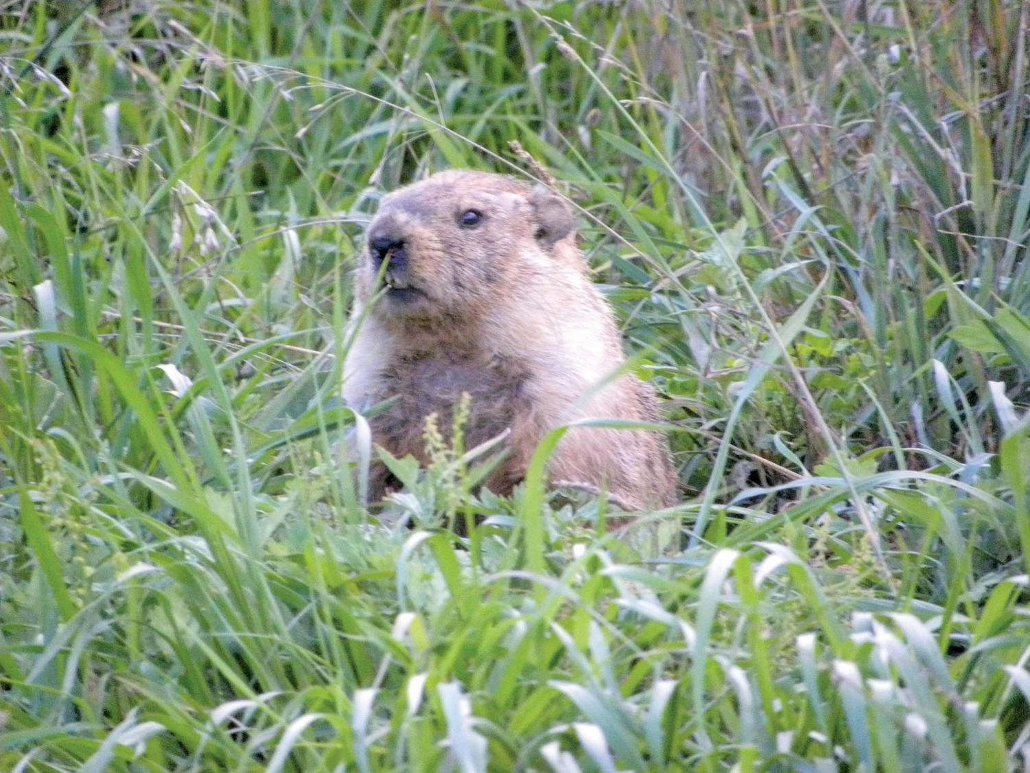 Groundhog predicts an early spring on Feb. 2.