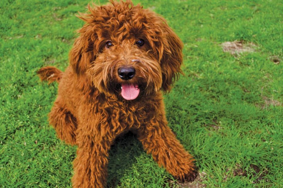 Georgie the petite goldendoodle runs as fast as he can through the park. He is 9 months old and very social. Originally from Georgetown, Georgie is now a full Austinite, and Zilker is his favorite place to play.